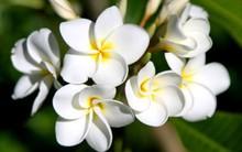 Chuyên gia Đông y chỉ ra sự thật về việc sử dụng hoa đại ngâm rượu giúp giảm cân