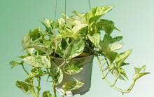 Cây độc: Cây Vạn Niên Thanh hút khí độc, mang tài lộc nhưng chứa độc nguy hiểm