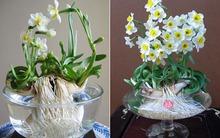 Hướng dẫn cách gọt thủy tiên để hoa nở đúng 30 Tết