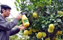 Chiêm ngưỡng cây bưởi trăm quả có giá hàng trăm triệu, giá thuê chưng Tết 50 triệu đồng