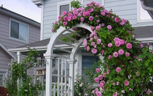 Những cổng nhà có dàn hoa hồng leo khiến ai đi qua cũng phải dừng chân ngắm nghía