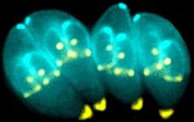 Kí sinh trùng trong phân mèo làm được điều kỳ diệu mà y học cũng phải bó tay