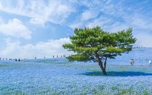 Tan chảy với những cánh đồng hoa đẹp ngất ngây của xứ Phù Tang