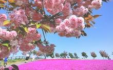 Đẹp mê mải những mùa hoa tháng 5 của xứ sở mặt trời mọc