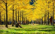 Vườn ngân hạnh ở Gangwon: điểm đến đẹp như mơ khi thu sang của Hàn Quốc