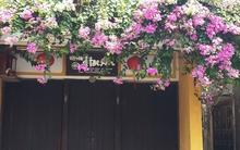 Ngất ngây với những giàn hoa giấy tuyệt đẹp trên các ngôi nhà ở phố cổ Hội An