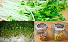 Hướng dẫn 2 cách trồng rau mầm không cần đất siêu nhanh cho các bà nội trợ