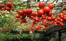7 cách làm giàn đơn giản cho những cây cà chua sai trĩu quả