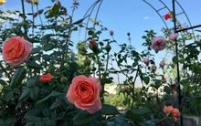 Bà mẹ hai con ở Hải Phòng chi gần 100 triệu tạo vườn hồng hoa nở đẹp như ở Châu Âu