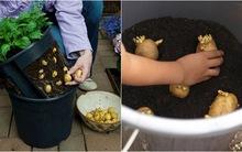 5 cách trồng khoai tây bội thu không phải ai cũng biết