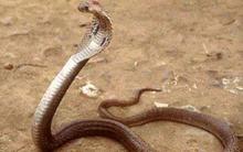 Sốc!!! Người cắn chết rắn hổ mang