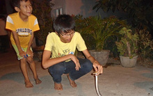 Phú Yên: Rắn độc liên tục bò vào nhà