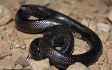 Mang rắn vào nhà nghỉ, bị rắn cắn chết