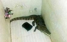 Giật mình cá sấu đột nhập phòng tắm