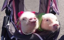 Hai chú lợn đáng yêu gây sốt trên mạng