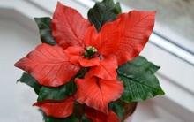 Noel này, trang trí nhà với hoa trạng nguyên thật đẹp!