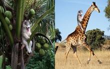 Ngồi vắt vẻo trên cây dừa, chó Husky được cư dân mạng tặng bộ ảnh chế cười đau bụng
