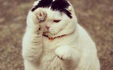 Dân mạng bấn loạn với chú mèo béo, tóc bổ luống như Đan Trường