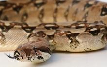 Cha ăn trộm 7 con rắn làm quà sinh nhật cho con gái