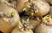 Cách trữ khoai tây quen thuộc hóa ra lại khiến khoai mau hỏng, chóng mọc mầm