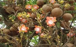 Loài cây nở hoa tuyệt đẹp nhưng không ai dám lại gần chỉ vì...