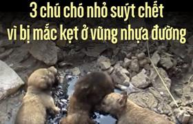 Màn giải cứu 3 chú chó nhỏ suýt chết vì bị mắc kẹt ở vũng nhựa đường