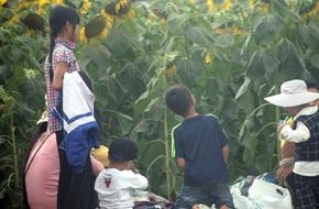 Ngắt hoa, bẻ cành tại cánh đồng hoa hướng dương lớn nhất Nghệ An