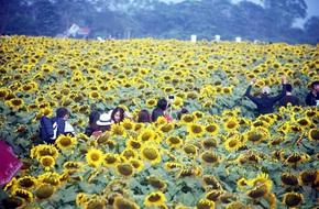 Nhiều gia đình đi từ giữa đêm để ngắm cánh đồng hoa hướng dương ở Nghệ An