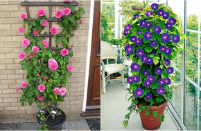 Điểm danh 11 loại cây hoa leo trang trí nhà thêm rực rỡ dù trồng trong chậu