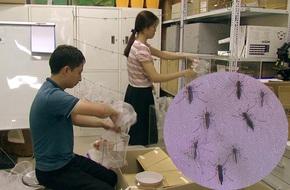 Việt Nam nuôi thử nghiệm loại muỗi làm 'ức chế' muỗi gây sốt xuất huyết