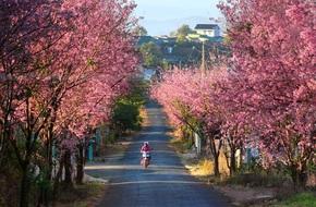 Những con đường có hoa mai anh đào nở đẹp ngất ngây tại thời điểm này ở Đà Lạt