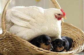 Những hình ảnh hài hước chứng minh gà mới đích thị là 'mẹ muôn loài'