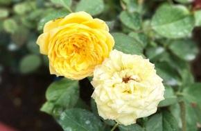 Bí quyết trồng cả sân thượng hoa hồng ngoại rực rỡ của chàng trai độc thân ở Vũng Tàu