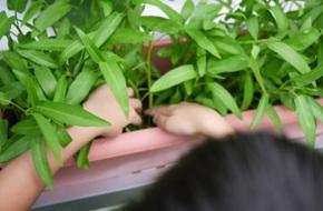 Cách trồng rau muống bằng cành lớn nhanh như thổi kịp đón mùa hè