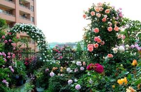 Khu vườn hoa hồng đẹp như cổ tích trên sân thượng của cô sinh viên trẻ
