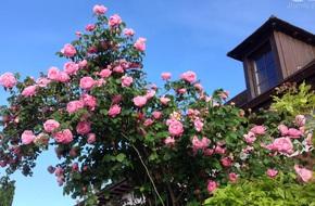 Khu vườn hoa hồng rộng hơn 1 hecta đẹp như cổ tích của người phụ nữ sinh ra ở chốn ngàn hoa