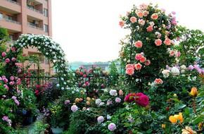 3 vườn hồng đẹp như mơ khiến độc giả tâm đắc tặng ngàn like trong năm 2017