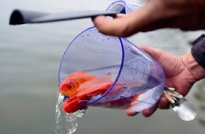 Cách chọn cá chép cúng Tết ông Táo 'chuẩn' nhất thể hiện sự thành tâm của gia chủ