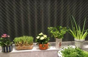 Ngắm vườn rau gia vị độc đáo trồng trong lọ và cốc thủy tinh của mẹ Việt hai con ở Nhật