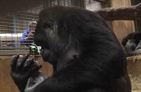 Khoảnh khắc lay động hàng triệu người xem: Lần đầu làm mẹ, cô khỉ đột nâng niu, khẽ hôn nhẹ lên môi con