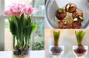 Sở hữu một bình hoa Tulip cực đẹp vào dịp Tết bằng cách trồng từ nước đơn giản như này