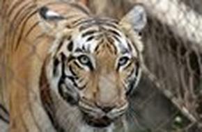 Hổ vồ chết người nuôi tại Bình Dương