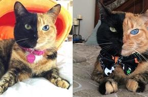 Cô mèo có khuôn mặt nửa đen, nửa cam bỗng chốc trở thành ngôi sao trên Internet