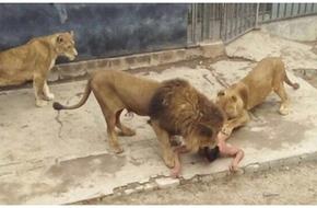 Người đàn ông lột hết quần áo sau đó nhảy vào giữa chuồng sư tử để tự sát