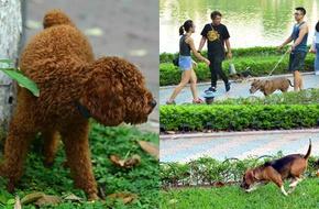 """Ngán ngẩm cảnh chó được thả rông, không rọ mõm """"tung tăng"""" rồi tự do phóng uế trên phố đi bộ"""