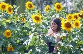 Mê mẩn vườn hướng dương rực rỡ giữa tiết trời miền Nam ấm áp ngày giáp Tết