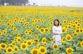 Rực rỡ cánh đồng hướng dương lớn nhất Việt Nam