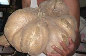 Phát hiện củ sắn khổng lồ, nặng 16kg