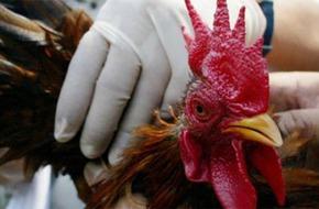 WHO giải đáp về cúm gia cầm H7N9