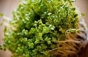 Rau mầm bông cải xanh có thể giảm chất gây ung thư trong cơ thể